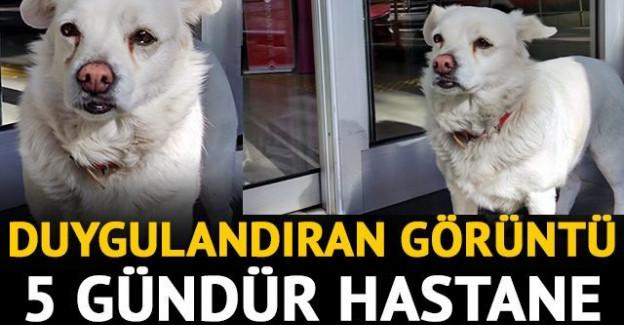 Sahibi tedavi gören köpek, 5 gündür hastane kapısında bekliyor